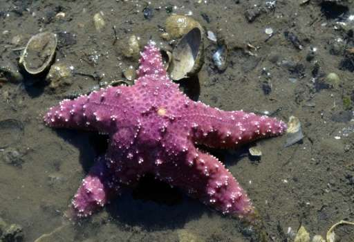 An ochre sea star, (Pisaster ochraceus), also called starfish, is seen at low tide on the beach in Bremerton, Washington