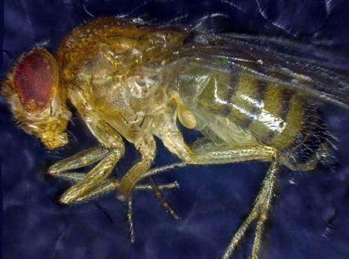 Researchers create Methuselah fly by selecting best cells