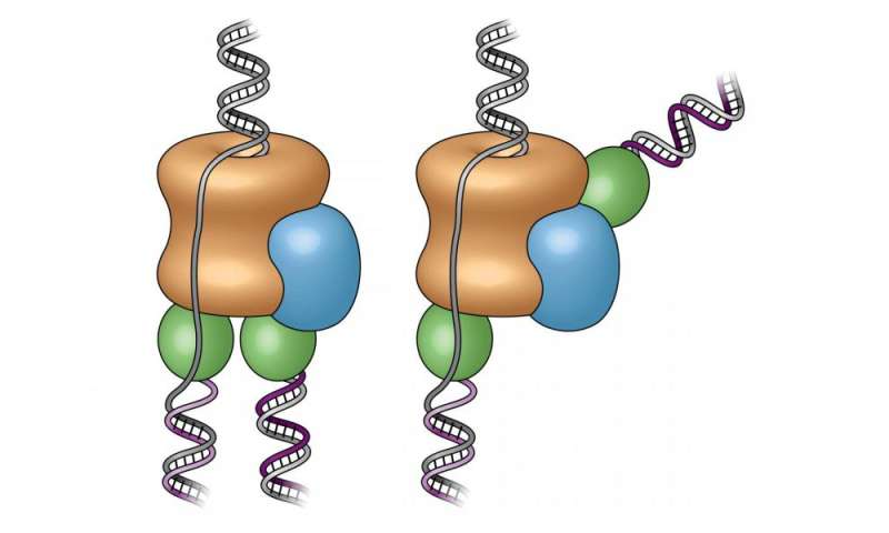 DNA replication of eukaryotes  44-studyreveals