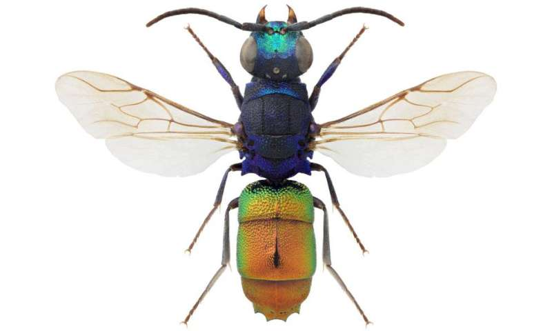Seventy-four cuckoos in the nest: A new key to all North European cuckoo wasp species