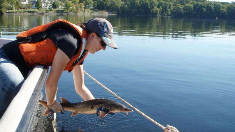 After measurement and implantation of a small tagging device, UMaine graduate student Lisa Izzo releases a shortnose sturgeon back into the Penobscot River. Credit: Gayle Zydlewski