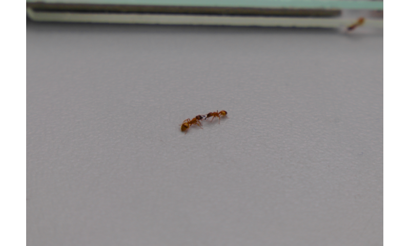 A 'nervous system' for ant colonies?