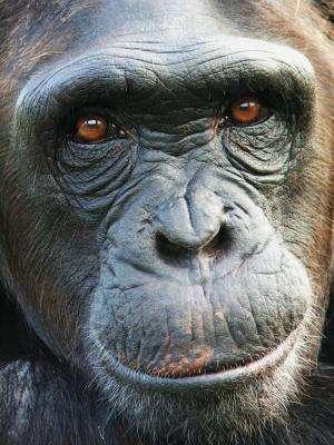 Apes prefer the glass half full