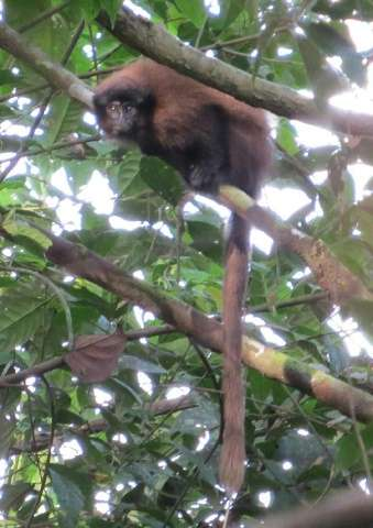 A photo obtained on August 20, 2015 shows a Callicebus urubambensis or Urubamba brown titi monkey on the left bank of the Río Ur