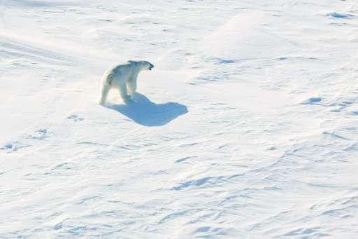 A polar bear walks across the ice in the Arctic near the North Pole