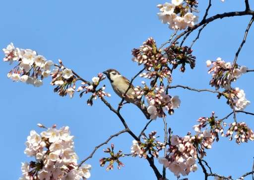 A sparrow sits on a branch of a blooming cherry blossom tree in Tokyo on March 26, 2015