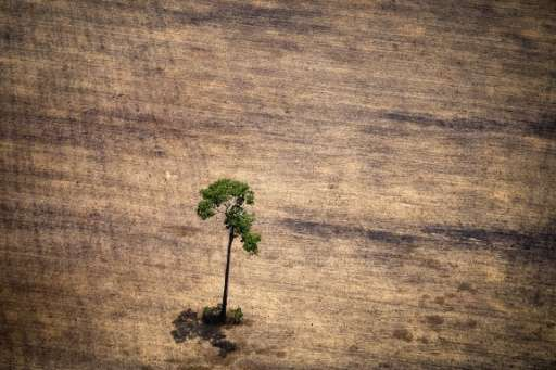A tree in a deforested area in the Amazon jungle seen in an overflight by Greenpeace activists on October 14, 2014