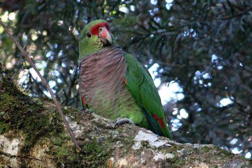 South American parrot in trouble: researchers