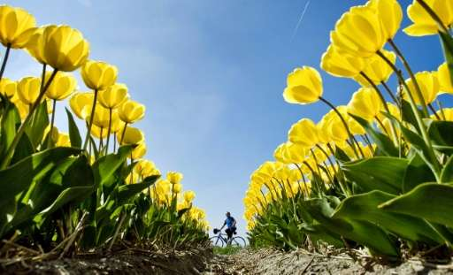 A woman on a bike passes a field with yellow tulips near Egmond aan den Hoef in northwestern Netherlands, on April 20, 2009