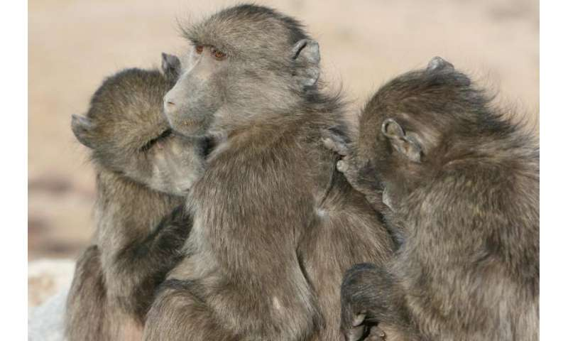 Baboons prefer to spend time with others of the same age, status and even personality