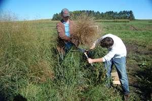 Better switchgrass, better biofuel