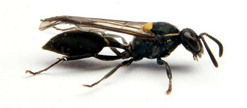 Brazilian wasp venom kills cancer cells by opening them up