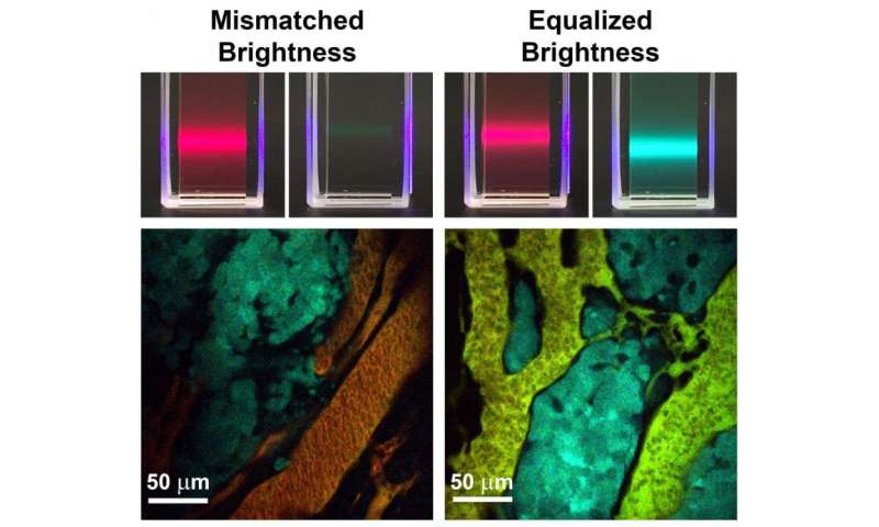 Brightness-equalized quantum dots improve biological imaging