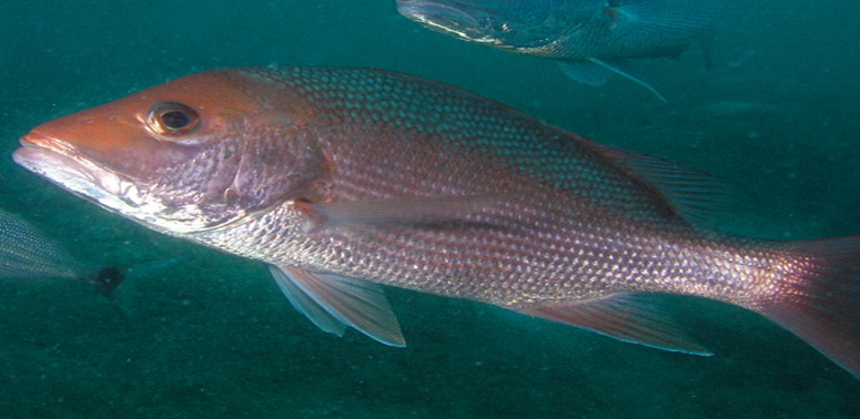 Ciguatera fish poisoning predicted to increase with rising ocean temperatures