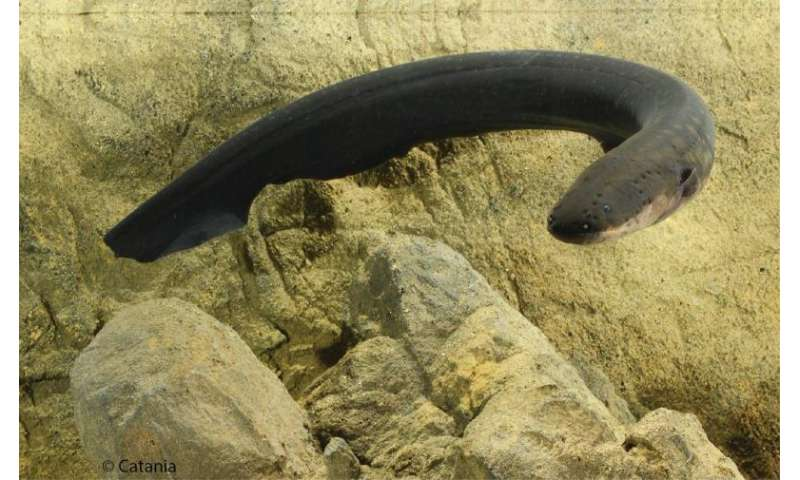 Electric eel: Most remarkable predator in animal kingdom