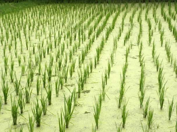 Enhancing rice production during climate change in Malaysia