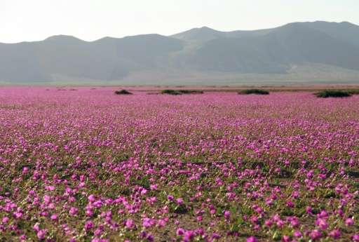 Flowers bloom at the Huasco region on the Atacama desert, some 600 km north of Santiago, on November 27, 2015