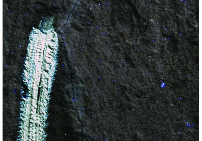 Fossil fireworm species named after rock musician