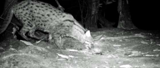 The Endangered Fishing Cat of Cambodia