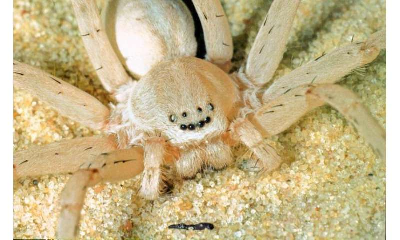 Four new species of huntsman spiders have been discover…