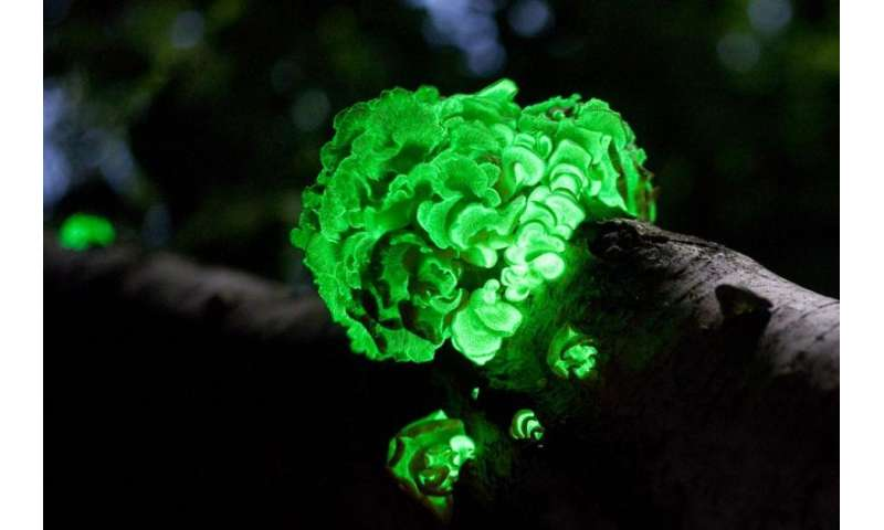Fungi get the green light: Chemical basis for bioluminescence in glowing fungi uncovered