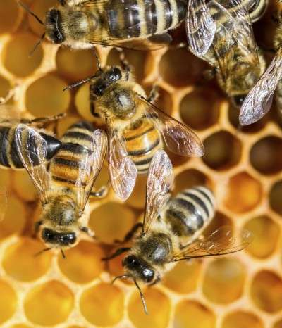Honey bee facility reveals insights into workings of human brain