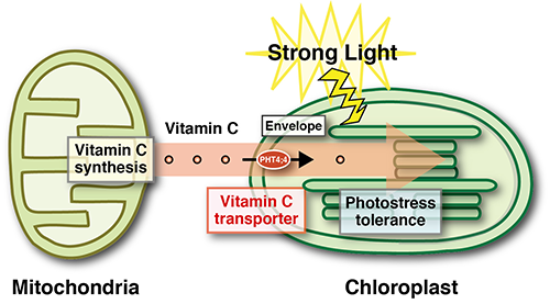 Xanthophyll Cycle in The Xanthophyll Cycle