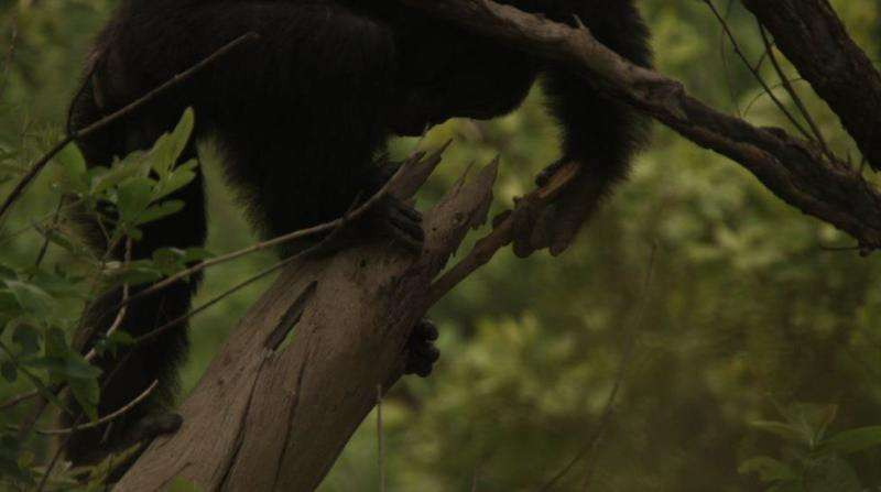 Iowa State anthropologist finds female chimps more likely to use tools when hunting