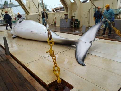 Japan announced in November 2015 that it plans to kill 333 minke whales for scientific research this season