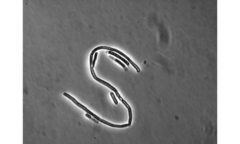 Lifestyle switching – Bacillus cereus is able to resist certain antibiotic therapies