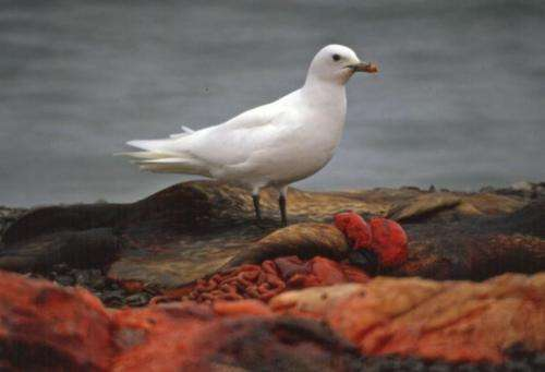 Mercury pollution danger for arctic ivory gulls