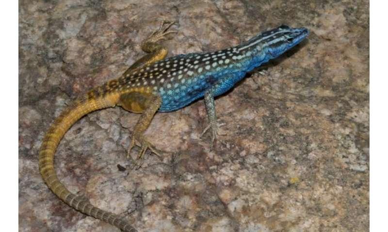 New lizard named after Sir David Attenborough