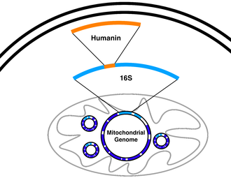 New mitochondrially-derived peptides show what they can do