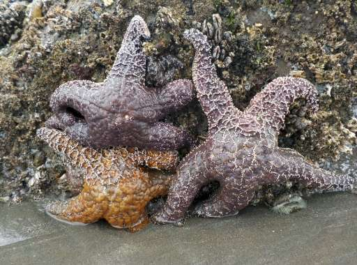 Ochre sea stars (Pisaster ochraceus), also called starfish, are seen in the tidepools of Kalaloch Beach 3 in the Olympic Nationa