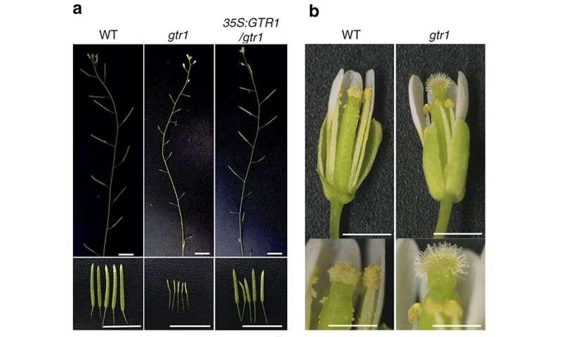 Plant fertility—how hormones get around