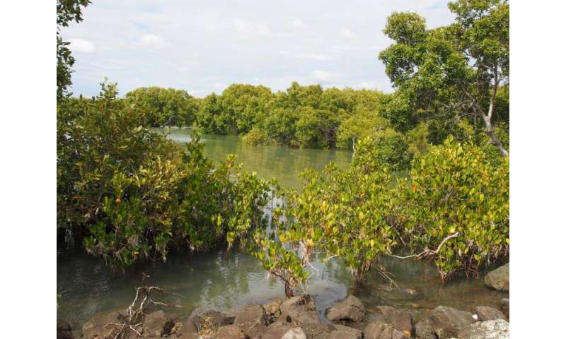 Rising seas will drown mangrove forests