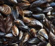 Satellite technology puts 'mussel' into shellfish monitoring