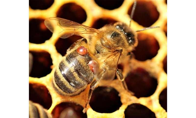 Some honeybee colonies adapt in wake of deadly mites