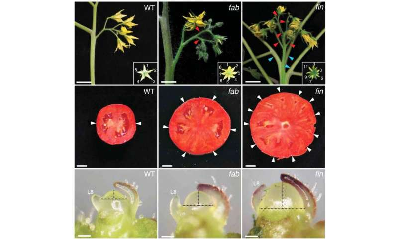 Study pinpoints genes that make plant stem cells, revealing origin of beefsteak tomatoes