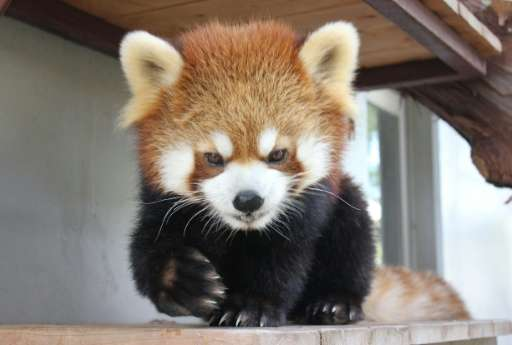 The red panda, called Sumire, sits back in its cage at the Shizuoka Municipal Nihondaira Zoo on December 31, 2015