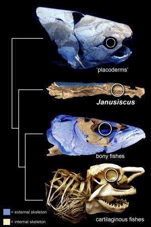 Two-faced fish clue that our ancestors 'weren't shark-like'