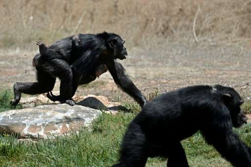 Usually, a chimpanzee baby can hang onto their care-giver by itself