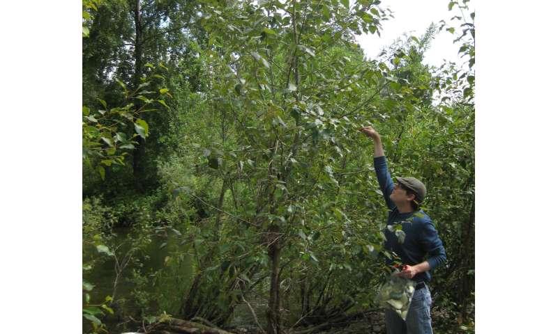 Co-penulis Andrew Sher mengambil sampel salah satu pohon poplar. Kredit: Sharon L. Doty