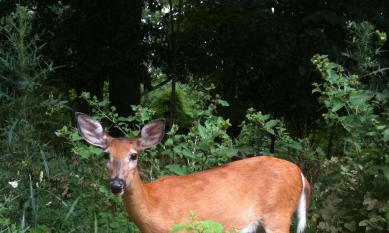 Discovery: Many white-tailed deer have malaria