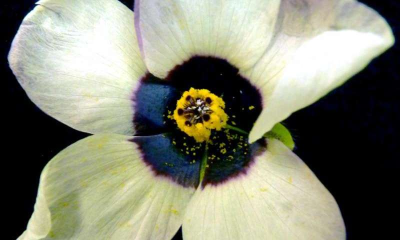 Flowers tone down the iridescence of their petals and avoid confusing bees