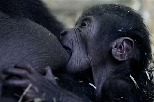Gorilla gives birth to baby at Amsterdam's Artis zoo