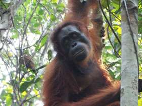 Orangutans: Lethal aggression between females