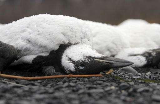 Seabird die-off takes twist with carcasses in Alaska lake