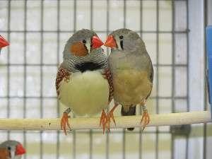 Songbirds struggle against sounds of city