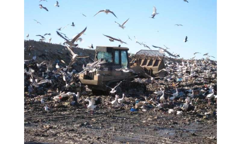 Storks give up on winter migration in favor of junk food